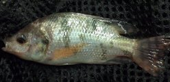 Red Nile Tilapia